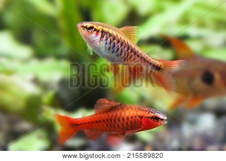 Aquaria still life scene, colorful freshwater fishes macro view, shallow depth of field. Cherry barb male fishes Puntius titteya Cyprinidae.