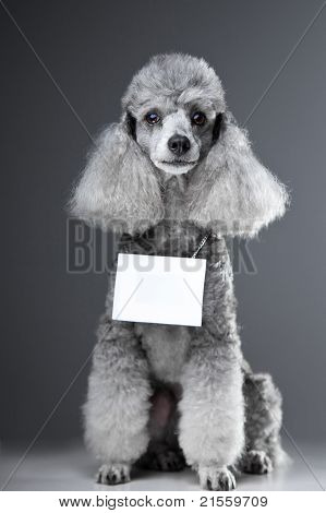 Portrait of sitting lovely gray poodle dog with tablet for your text here on grey background poster