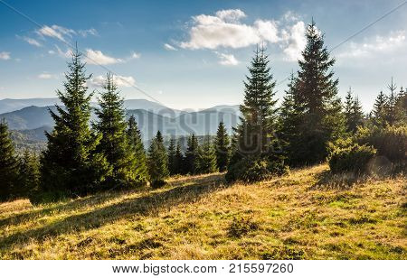Spruce Forest On Grassy Hills In Sunset Light