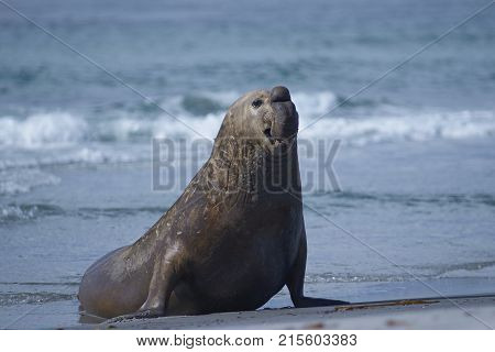 Male Southern Elephant Seal (Mirounga leonina) emerging from the sea on Sea Lion Island in the Falkland Islands.