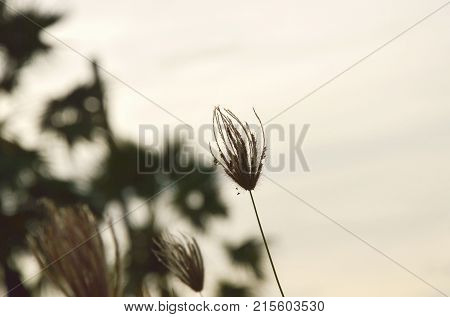 flower grass flowing from wind blow on sunset sky