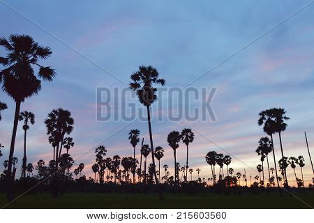 silhouette toddy palm tree on sunset sky in paddy field