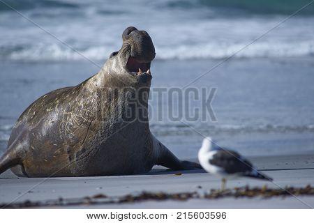 Male Southern Elephant Seal (Mirounga leonina) emerging from the sea on Sea Lion Island in the Falkland Islands.