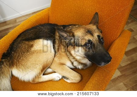sad brown mongrel dog lying in the orange chair