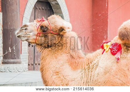 A pet camel waiting for the next paying customer who wants a ride.
