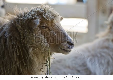 A portrait of a woolly sheep in a stall.