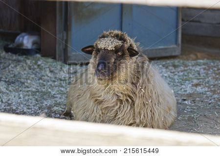A woolly sheep in a pen shot through wooden fencing.
