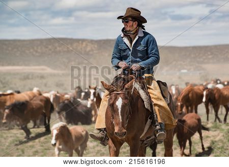May 1, 2016 Craig, CO: Cowboy with black hat and blue jean jacket on bay horse calmly leading horse herd on annual Sombrero Ranch horse drive