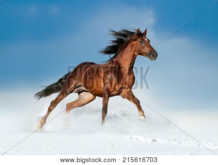 golden brown andalusian horse runs free in the winter field