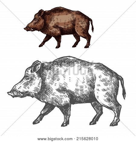 Boar wild animal sketch vector icon side view. Wild aper swine or pig hog for wildlife fauna and zoology or hunting sport team trophy symbol and nature zoo adventure club design