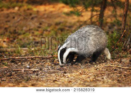 Eurasian Badger - Meles meles - in autumn forest