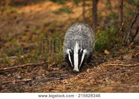 Eurasian Badger - Meles meles - looking for feed
