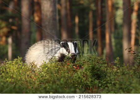 Eurasian Badger - Meles meles - looking for feed in bilberry bushes
