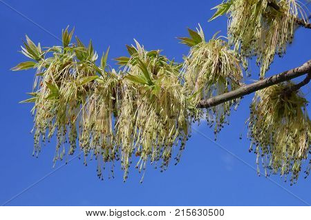 Boxelder Maple Flowering