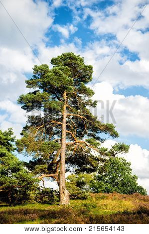 Pine green fir tree on sunny day on natural landscape. Nativity christmas holiday celebration and ritual. Evergreen nature renewal endurance resilience and longevity concept