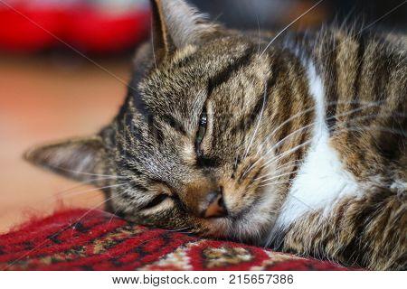 A tabby cat snoozing on a rug