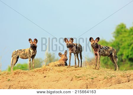 Pack of wild dogs (Painted Dog - Lycaon pictus) standing on top of a sand bank with a vibrant blue sky background looking diretly ahead South Luangwa National Park Zambia Southern Africa