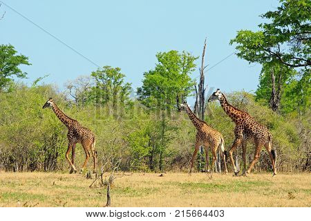 Journey of Thornicroft Giraffe walking across the open plains with a natural bush vbackground in Spouth Luangwa National Park Zambia southern africa