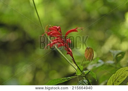 Unique Red Flowers in the Monteverde Cloud Forest in Costa Rica