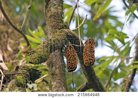 Unusual Seed Pods in the Monteverde Cloud Forest in Costa Rica