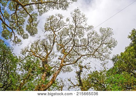 Looking Up to the Canopy of the MonteVerde Cloud Forest in Costa Rica