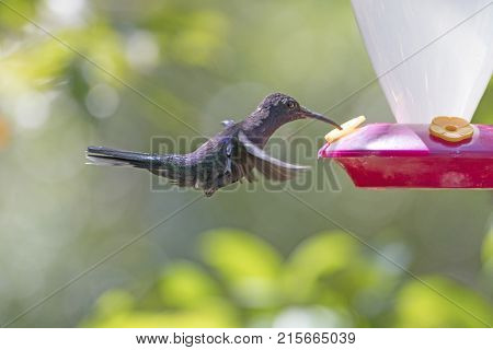 Violet Sabrewing Hummingbird at a feeder near the Monteverde Cloud Forest in Costa Rica