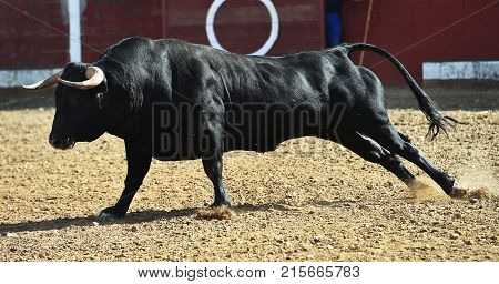 bull in spain with big horns running in bulring