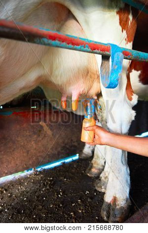 Fatmilking of cow utter before milking operation Franche Comte France.