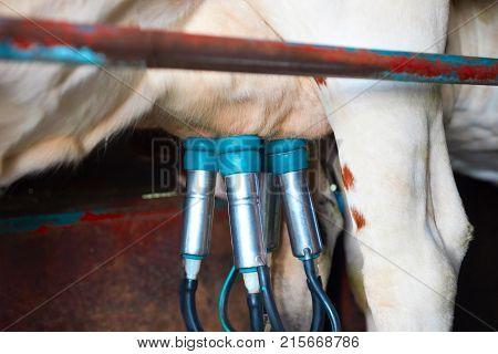 Cows utter and pipelines during milking operation Franche Comte France.