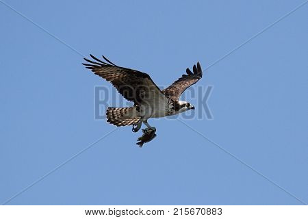 Osprey (pandion haliaetus) in flight with a blue sky background carrying a fish