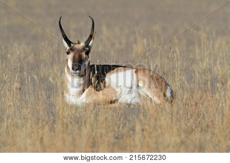 Pronghorn Antelope (Antilocapra americana) in Yellowstone National Park