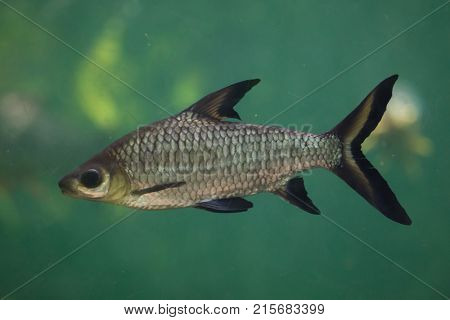 Bala shark (Balantiocheilos melanopterus), also known as the tricolor shark or shark minnow.