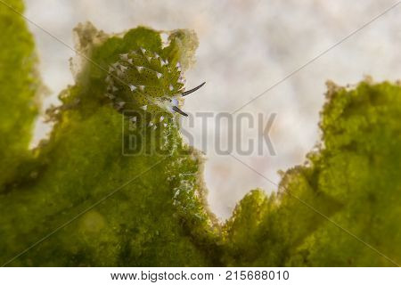 Leaf Sheep Nudibranch (costasiella Kuroshimae)