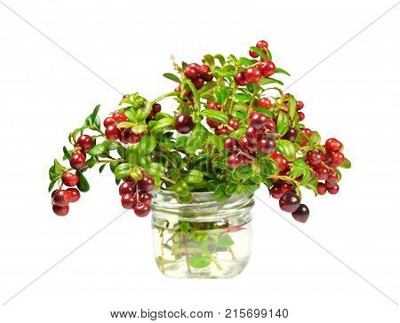 Bouquet of freshly cut branches of cowberry bush, sprinkled with red and burgundy ripe juicy berries, in a transparent glass container. Isolated on white background