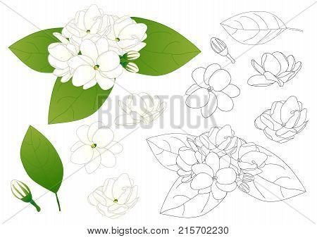 Jasminum sambac - Arabian jasmine Outline. Vector Illustration. isolated on White Background.