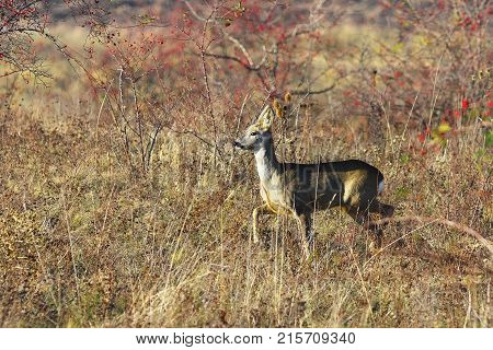 roe deer doe in natural habitat ( Capreolus )