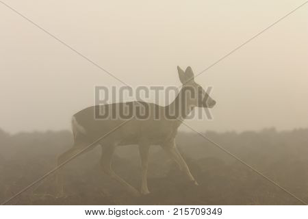 roe deer on a foggy day ( Capreolus )