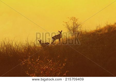 roe deers in orange light of dawn ( Capreolus wild animals in natural habitat )