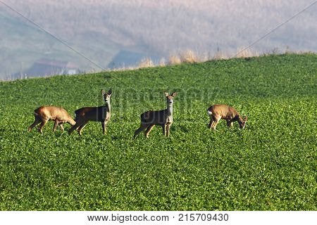 roe deers grazing in the field ( Capreolus )