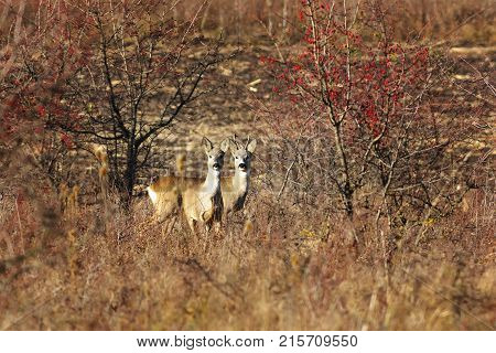two curious roe deers in autumn field ( Capreolus ) wild animals in natural habitat