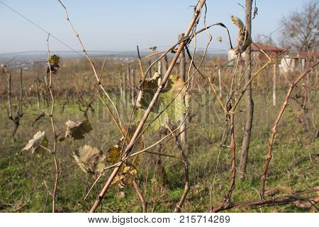 Leaves grapes in the vineyard with nature. Grape vine in fall