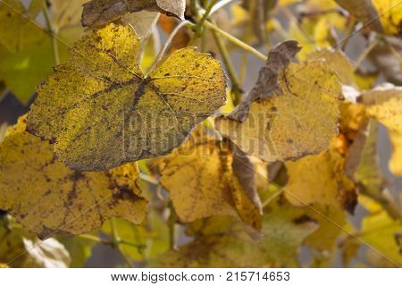 Photo of grape leaves background yellow leaves close up in the vineyard. Grape plant with yellow leaves