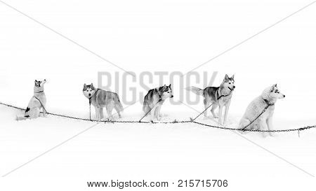 A team of Husky dogs on the breather. Northern sled dogs are used as transportation. A sturdy and draft sled Husky.