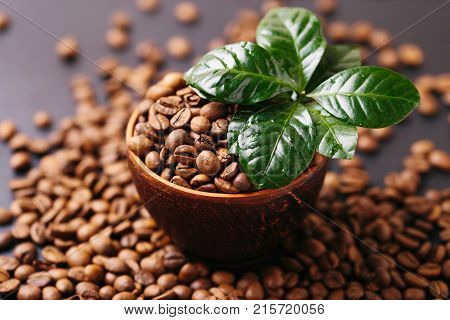 Coffee Plant Tree And Roasted Coffee Beans. Horizontal View