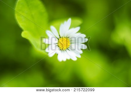 Small white field flower Bellis perennis common daisy lawn daisy or English daisy, top view, selective focus