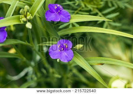 Violet flowers with yellow anthers Tradescantia in summer garden top view