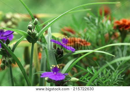 Violet flowers with yellow anthers Tradescantia in summer garden, side view