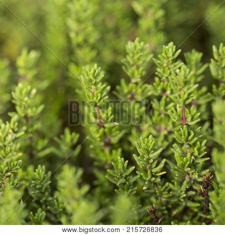closeup of fresh thyme plant in herb garden