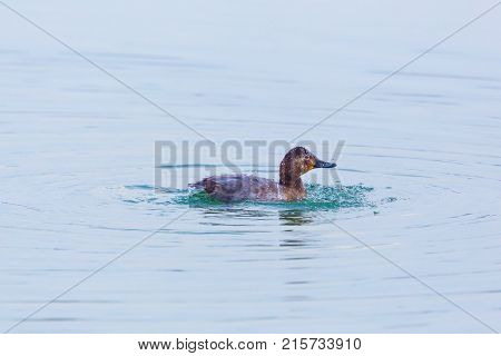 Eurasian Female Pochard Duck (aythya Ferina) Grooming In Water