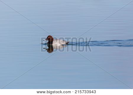 Eurasian Male Pochard Duck (aythya Ferina) Reflected On Blue Water Surface
